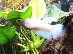 White female fighter fish by an anubias plant