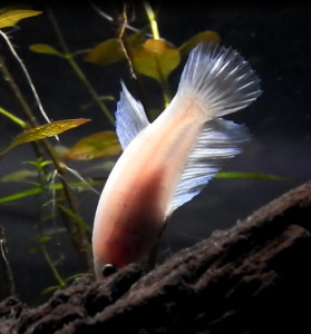 White female fighter fish with light shining through her